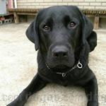ラブラドール・レトリーバー 犬種の画像