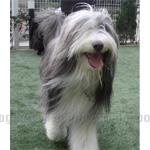 ビアデッド・コリー 犬種の画像
