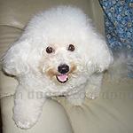 ビションフリーゼ 犬種の画像
