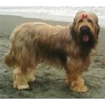 ブリアード 犬種の画像