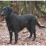 フラットコーテッド・レトリーバー 犬種の画像