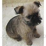 ブリュッセル・グリフォン 犬種の画像