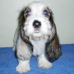 プチ・バセット・グリフォン・バンデーン 犬種の画像