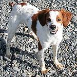 ブリタニー・スパニエル 犬種の画像