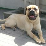 ブルマスティフ 犬種の画像