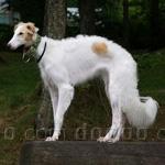 ボルゾイ 犬種の画像