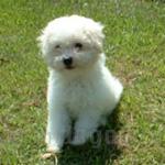 ボロニーズ 犬種の画像