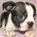 ボストンテリア 犬種の画像