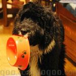 ポーチュギーズ・ウォーター・ドッグ 犬種の画像