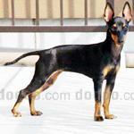 トイ・マンチェスター・テリア 犬種の画像