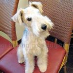 レークランド・テリア 犬種の画像