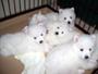 日本スピッツ 画像 写真  395