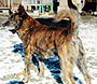 甲斐犬 画像 写真  206
