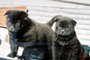 甲斐犬 画像 写真  208