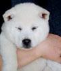 紀州犬 画像 写真  220