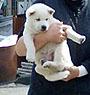 紀州犬 画像 写真  222