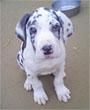 犬種 グレート・デーン 248