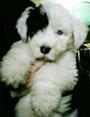 犬種 オールド・イングリッシュ・シープドッグ 201