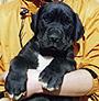 犬種 グレート・デーン 249