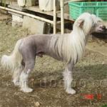 チャイニーズ・クレステッド 犬種の画像