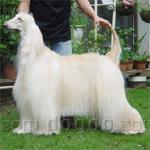 アフガン・ハウンド 犬種の画像
