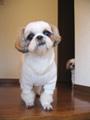 犬種 シー・ズー 310