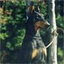 犬種 ドーベルマン 487