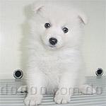 スピッツ(日本スピッツ) 犬種の画像