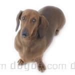 ダックスフンド (スタンダード) 犬種の画像