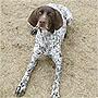 犬種 ジャーマン・ショートヘアード・ポインター 376