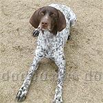 ジャーマン・ショートヘアード・ポインター 犬種の画像
