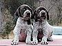 犬種 ジャーマン・ショートヘアード・ポインター 374