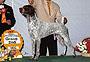 犬種 ジャーマン・ショートヘアード・ポインター 375