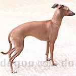 イタリアン・グレーハウンド 犬種の画像