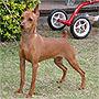 犬種 ミニチュア・ピンシャー 753