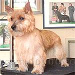 ノーリッチ・テリア 犬種の画像