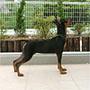 犬種 ミニチュア・ピンシャー 746