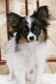 犬種 パピヨン 544