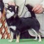犬種 チワワ 445