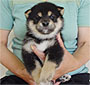 柴犬 画像 写真  342