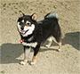 柴犬 画像 写真  346