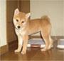 柴犬 画像 写真  343