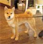 柴犬 画像 写真  345