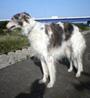 犬種 ボルゾイ 714