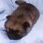 犬種 キースホンド 218