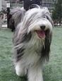 犬種 ビアデッド・コリー 560