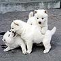 犬種 北海道犬 671