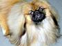 犬種 ペキニーズ 645