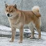 犬種 北海道犬 681