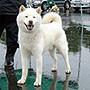 犬種 北海道犬 685